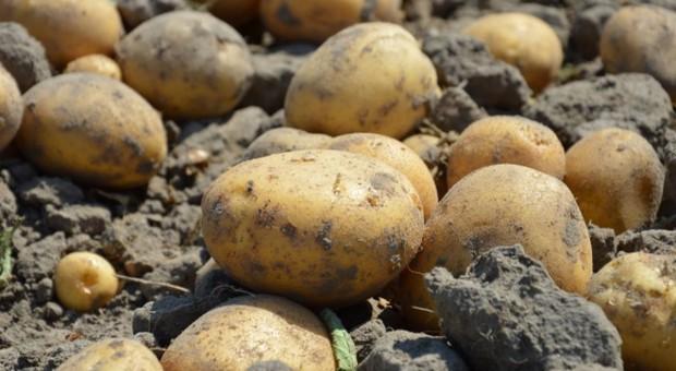 Ogromny problem z przechowywaniem ziemniaka