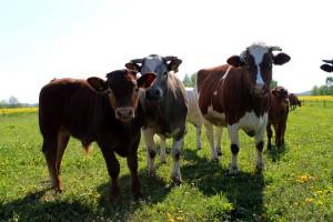 W cennikach skupu bydła znów podwyżki