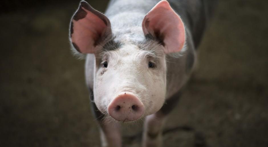 Niemcy: Obniżki cen świń nareszcie wyhamowały