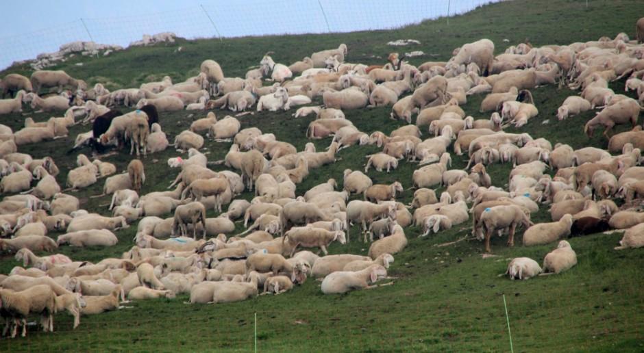 UE: Trwa spadek cen jagniąt, rosną ceny owiec