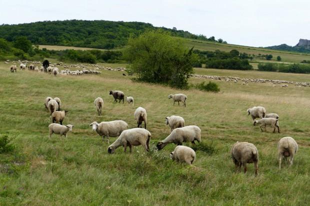 Węgry: Coraz więcej osób zajmuje się hodowlą owiec