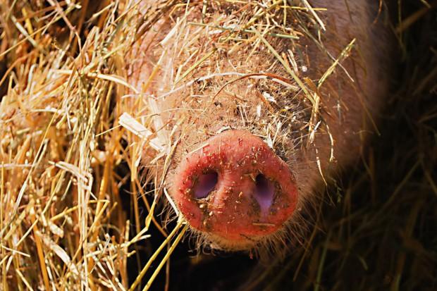 """Odszkodowania za """"ubój bioasekuracyjny"""" po odwołaniu do sądu lub MRiRW?"""