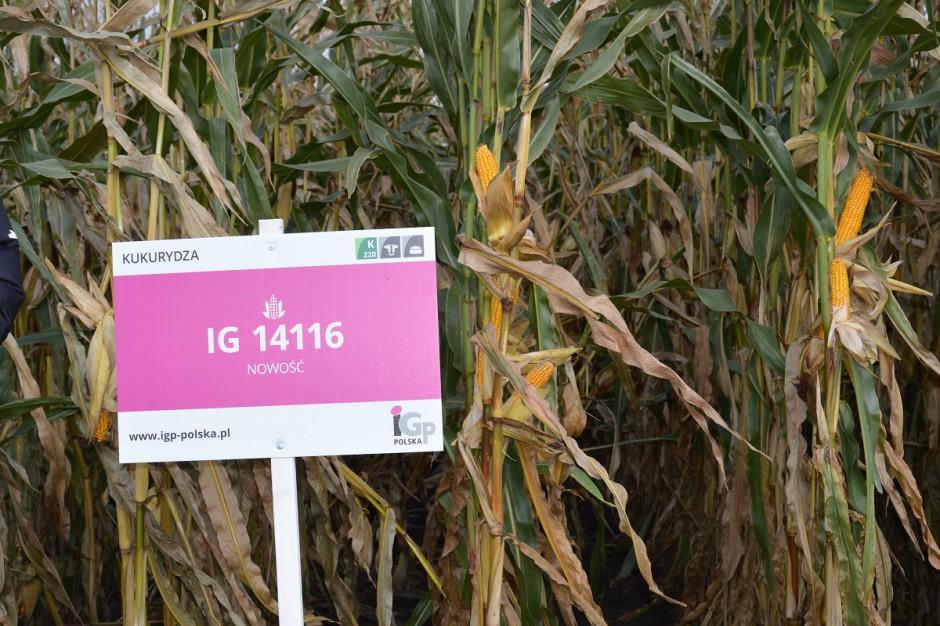 Kukurydza kiszonkowa będąca w pierwszym roku badań rozpoznawczych, pojawi się pod nazwą Codiswing; Fot. Katarzyna Szulc