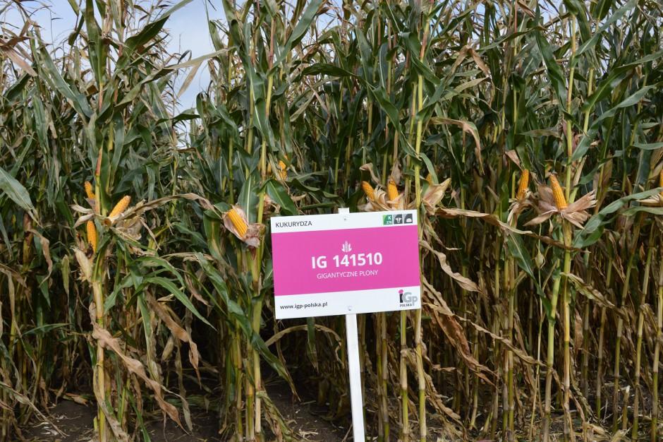 Kukurydza kiszonkowa będąca w pierwszym roku badań rejestrowych COBORU, pojawi się pod nazwą Codizouk; Fot. Katarzyna Szulc