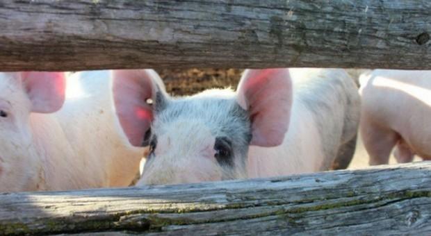 Ukraina: Silny spadek pogłowia świń