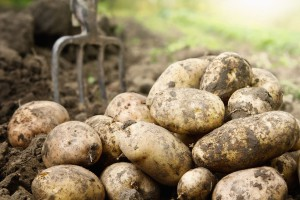 Cena ziemniaka spada