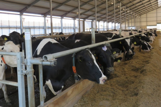 Na czym producenci mleka najczęściej tracą pieniądze?