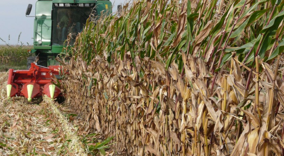 Cennik na suchą kukurydzę na razie jest fikcją - ziarno potaniało