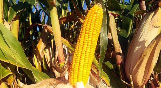 Ponad 17 t/ha kukurydzy, ponad 4 t/ha soi