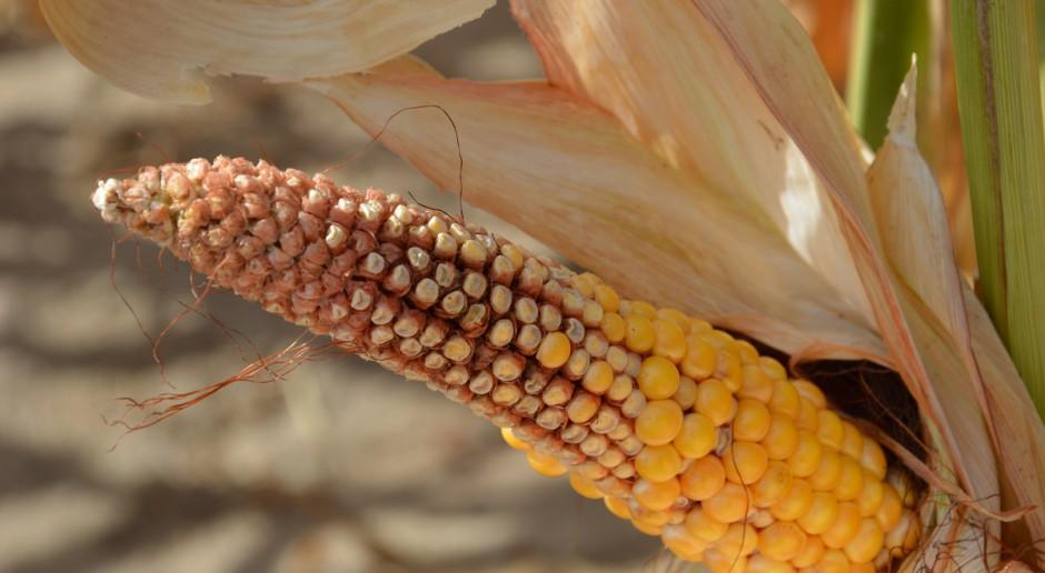 Uprawa kukurydzy w warunkach suszy z LG