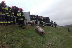 Wywróciła się ciężarówka przewożąca świnie