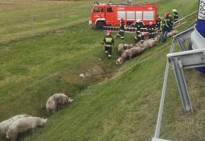 Zadanie było niełatwe - przerażone zwierzęta rozbiegły się po okolicy