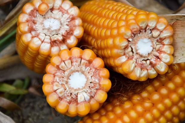 Kukurydza w żywieniu świń