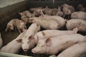 Niemcy: Świnie najtańsze od półtora roku