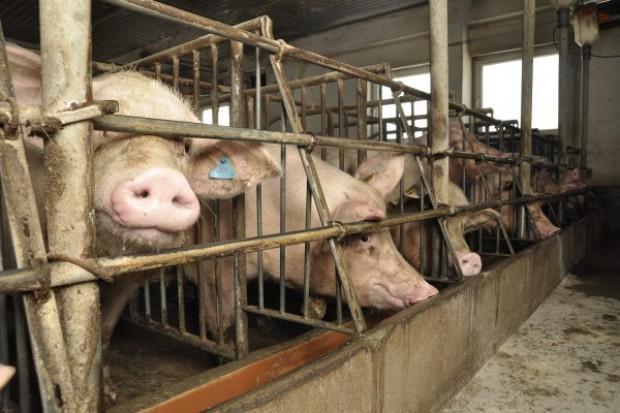 Do wtorku można składać wnioski o rekompensatę za nieutrzymywanie świń
