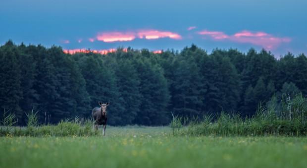 Resort środowiska wstrzymuje rozporządzenie przywracające możliwość polowania na łosie