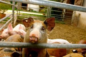 Ukraina: Spada pogłowie świń
