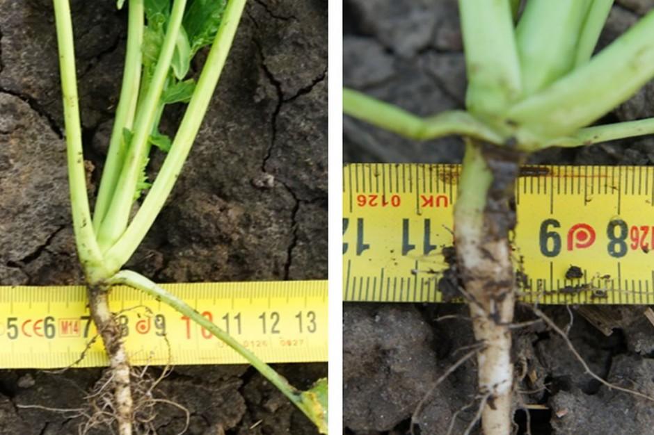 Średnica szyjki korzeniowej rzepaku wynosi od 5 do 10 mm, co w przypadku mroźnej zimy może być czynnikiem decydującym o przezimowaniu roślin, fot. Syngenta