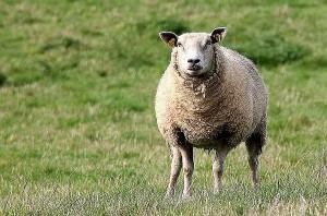 Złodziej zatrzymany, ale gdzie owca?