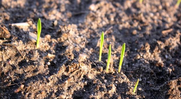 Plon pszenicy ozimej wysianej po 10 listopada