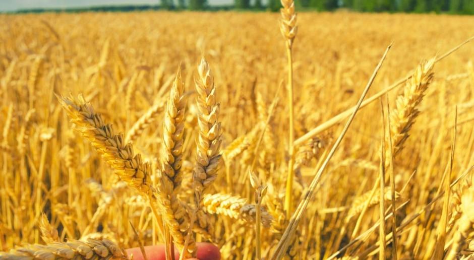 Spadek ceny pszenicy