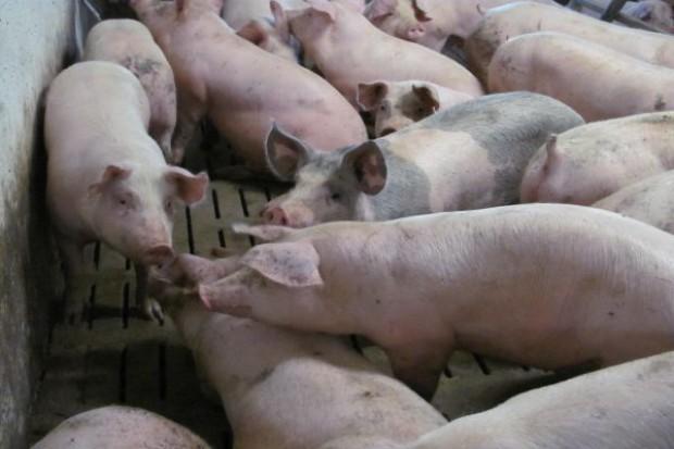 Trudna sytuacja rolników wyspecjalizowanych w tuczu świń