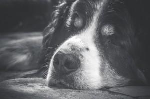 Starsze psy też mają zaburzenia poznawcze