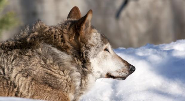 Prawomocne wyroki w zawieszeniu za zastrzelenie wilczycy i jej oskórowanie