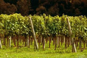 Do niedawna nikt nie słyszał o polskim winie. Co się zmieniło?
