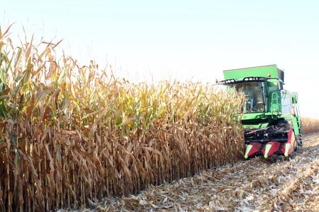 Opóźnione zbiory kukurydzy – robi się naprawdę nerwowo