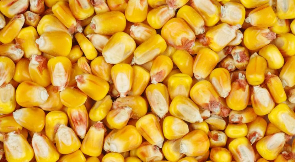 Kukurydza mokra średnio 400 zł/t, zboża paszowe droższe