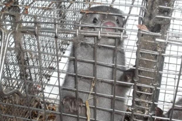 Sejmowa debata o hodowli zwierząt futerkowych