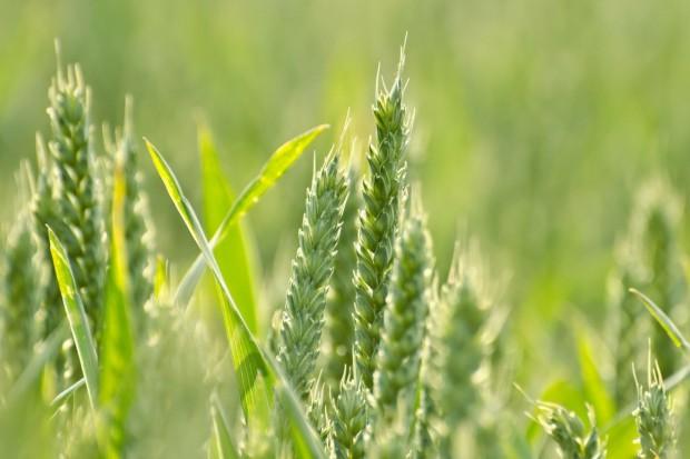 Ekspert: Dywersyfikacja upraw kluczem do bezpieczeństwa żywnościowego