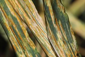 Fungicyd z grupy strobiluryn w przyszłym roku na rynku