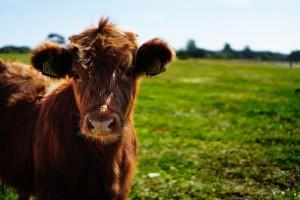 Zarzecki: Zakaz uboju rytualnego to kij w szprychy polskiego sektora wołowiny