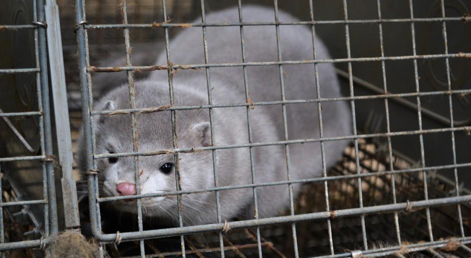 Fiołka: Zakaz hodowli zwierząt futerkowych to duży krok naprzód