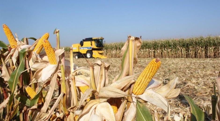 Kończą się zbiory kukurydzy, średnia cena nie spada