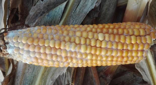 Późny zbiór kukurydzy to duże straty ziarna