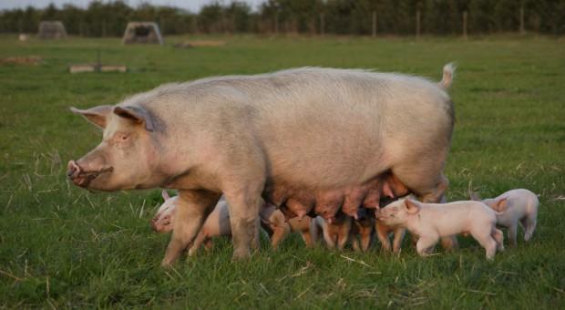 Chiny: Wyhodowano świnie z mniejszą ilością tłuszczu