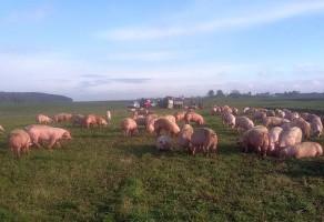 Uwolnione świnie musiały zaczekać na nowy środek transportu.