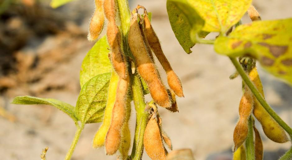 Nasiona soi w otoczce