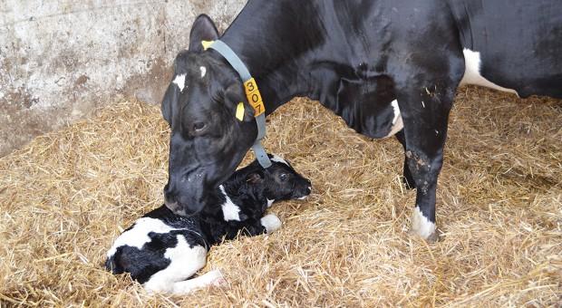 Najważniejsze elementy zarządzania rozrodem krów