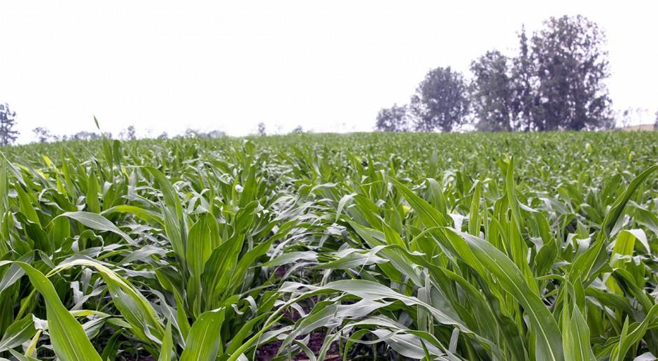 Uczmy się na błędach - uprawa kukurydzy