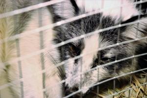 Prezes PiS: Zakaz hodowli zwierząt futerkowych w Polsce to droga do europeizacji