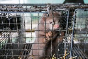 Ślęk: Zakaz hodowli zwierząt na futra rozwiązałby problem ferm norek