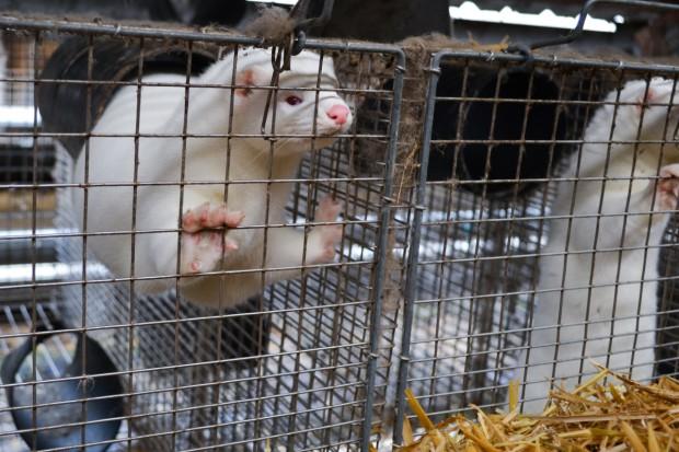 Zoolog: Zamknięciu ferm norek powinna towarzyszyć akcja uświadamiająca