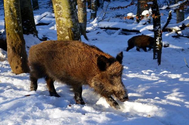 Zwalczać ASF u dzików czy izolować świnie?
