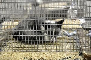W Holandii prawa zwierząt rozbudowane; jest zakaz hodowli na futra