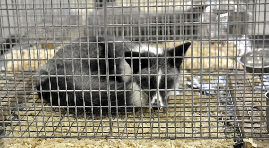 Ardanowski: Hodowla zwierząt futerkowych utrzymana