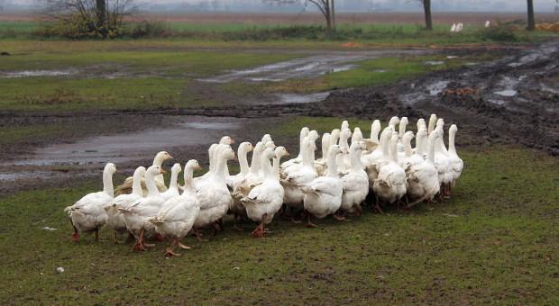 Przyzagrodowy chów gęsi - szansa na pewny zysk dla małych gospodarstw